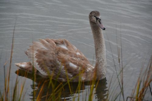 mottled swan 11-27-2014 8-49-26 AM