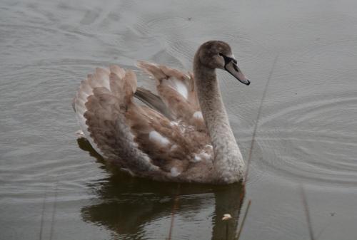 swan1 11-27-2014 8-48-50 AM