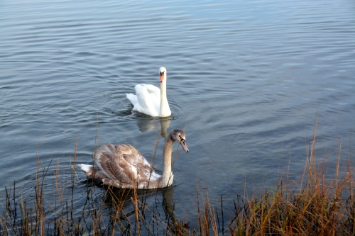 bride and new swan 12-16-2014 8-24-16 AM
