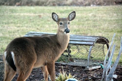 deer 1-19-2015 4-04-29 PM
