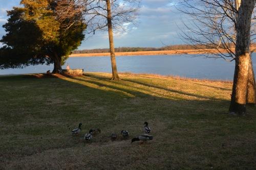 ducks 1-19-2015 7-44-32 AM