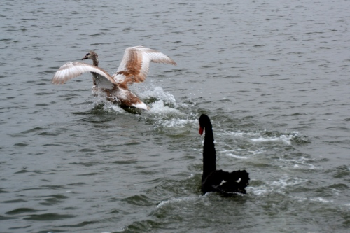 swan fight 12-29-2014 3-25-11 PM