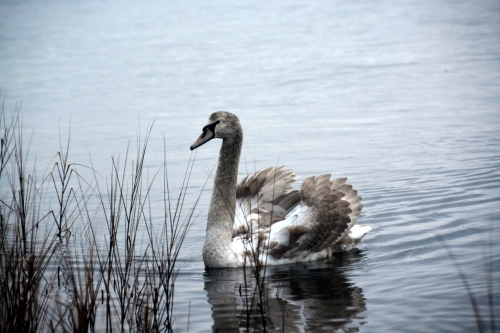 young swan1 1-4-2015 7-42-27 AM