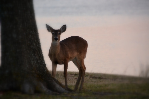 deer 2-8-2015 5-38-37 PM