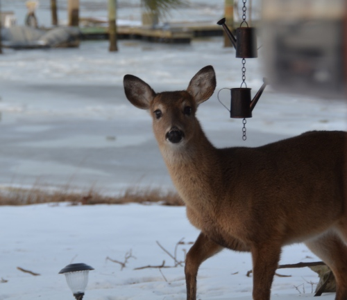 deer close up 2-22-2015 5-06-28 PM