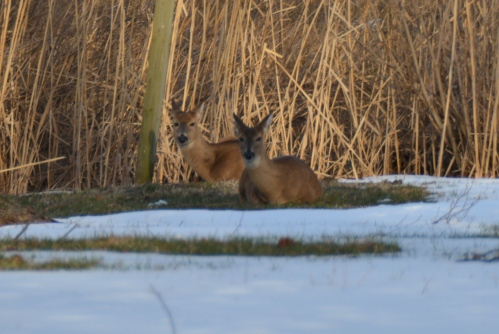 2 deer 3-2-2015 4-55-09 PM