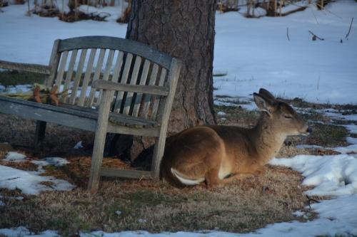 deer1 3-2-2015 4-03-14 PM