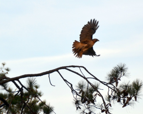hawk flying 3-21-2015 6-41-24 PM