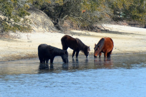 horses in water 2-28-2015 1-10-08 PM