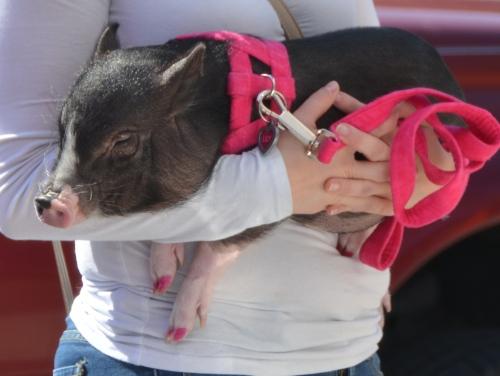 pig 3-21-2015 11-41-52 AM