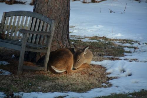 sleepy deer 3-2-2015 4-11-22 PM