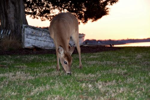 deer3 3-30-2015 7-24-18 PM