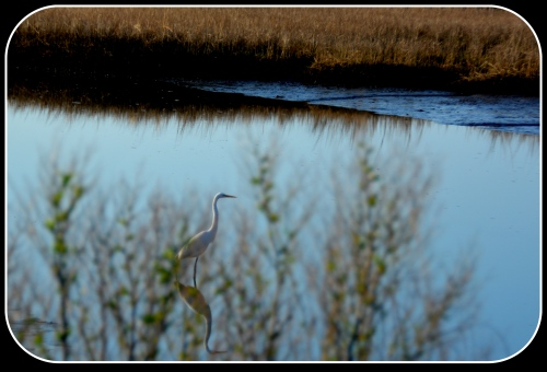 egret and rushes 4-5-2015 8-09-03 AM