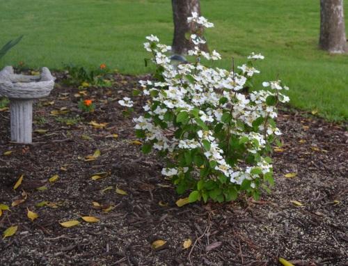white hydrangea1 4-21-2015 6-26-44 AM