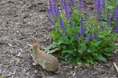 bunny and salvia 5-10-2015 8-25-50 AM