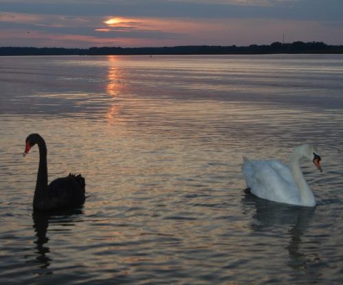 swans2 5-20-2014 7-49-48 PM