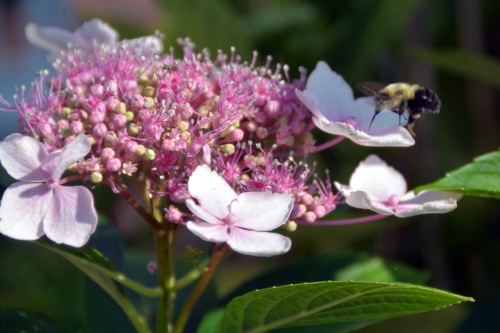 bee on hydrangea 6-12-2015 8-17-09 AM