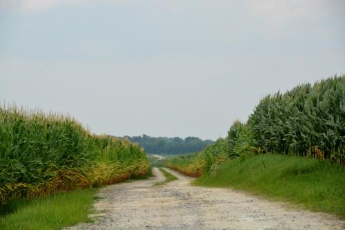 corn field lane 7-2-2015 2-52-10 PM 7-2-2015 2-52-10 PM