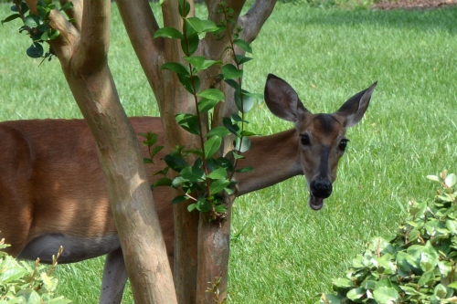 deer close up 7-3-2015 3-45-17 PM