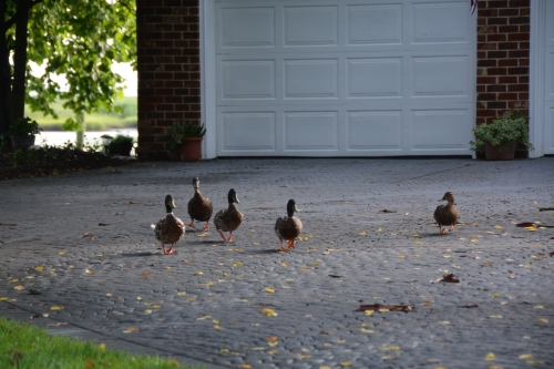 ducks 7-6-2015 7-53-34 AM