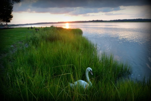 swan in grass 7-16-2015 8-05-47 PM