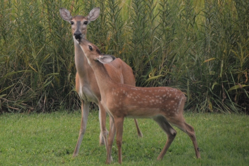 baby deer nuzzling mom 8-19-2015 6-49-29 PM