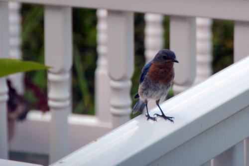 bluebird 7-30-2015 4-03-39 PM