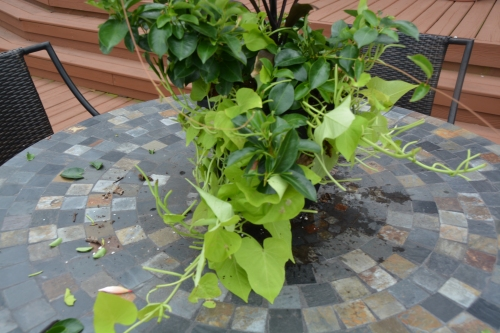deck plant after 8-10-2015 2-22-26 PM
