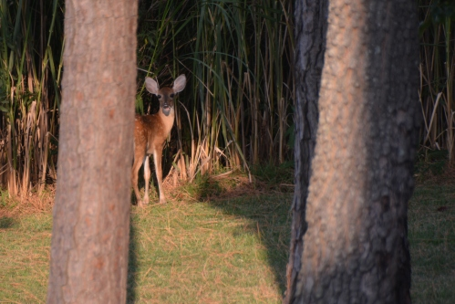 deer through trees 8-5-2015 6-18-40 PM