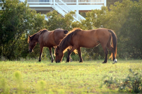 golden hour horses 8-22-2015 6-36-54 PM