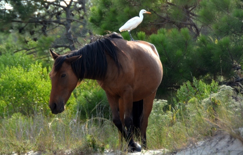 horse and egret 8-22-2015 5-48-53 PM