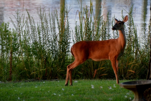 mama deer 8-16-2015 7-48-47 PM