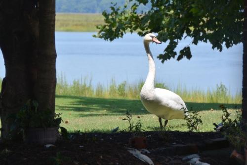 swan 8-17-2015 1-27-55 PM