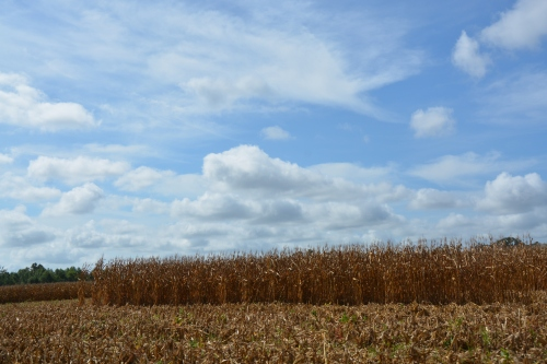 corn and clouds 9-7-2015 10-44-05 AM