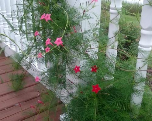 cypress vine 8-31-2015 8-14-09 AM