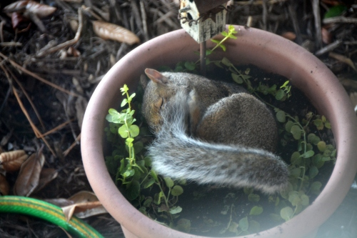 nite squirrel 9-9-2015 3-43-08 PM