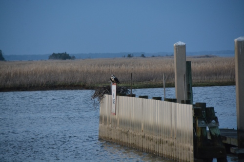 osprey nest no tide 4-10-2015 7-24-12 PM
