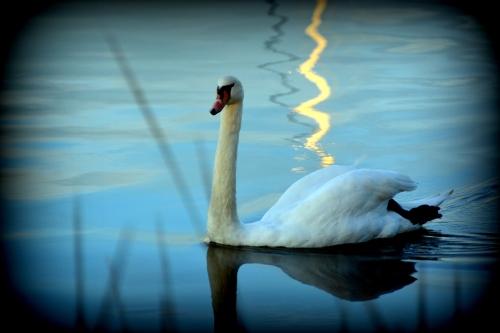 swan vignette 10-20-2015 6-00-35 PM