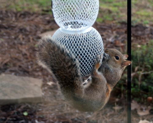 squirrel 1-14-2016 4-39-51 PM