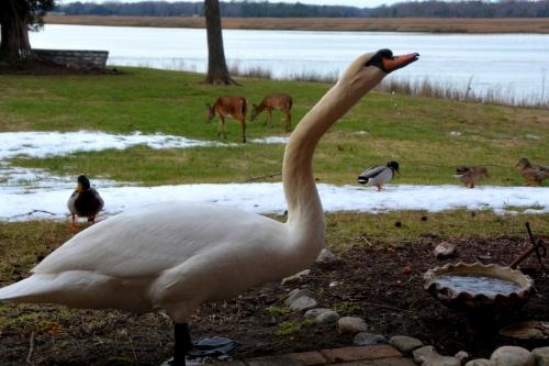 swan ducks deer 1-26-2016 3-43-40 PM