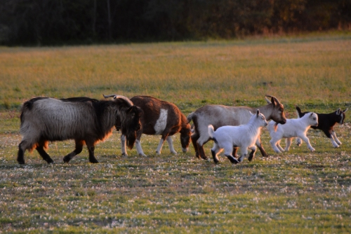 goat family 3-23-2016 6-57-04 PM