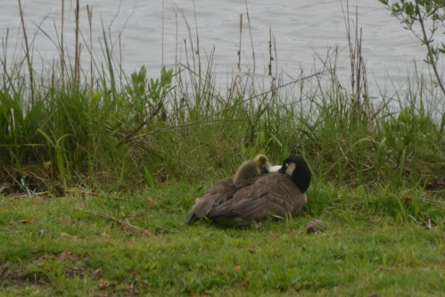 mom and gosling 4-28-2016 3-20-36 PM