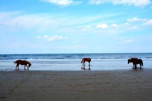 4 horses on beach 5-8-2016 5-02-32 PM