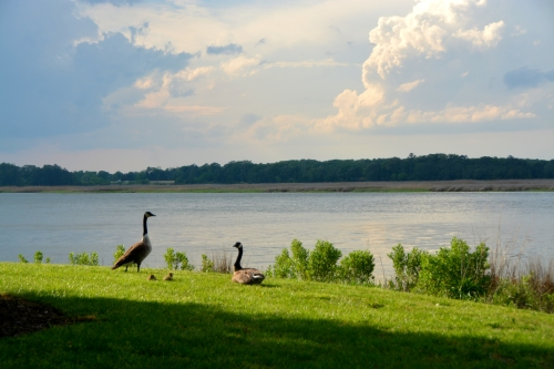 geese and storm2 5-2-2016 5-41-00 PM