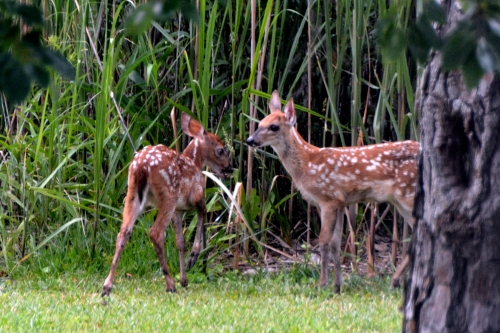 2 fawns 2 6-15-2016 7-17-57 AM
