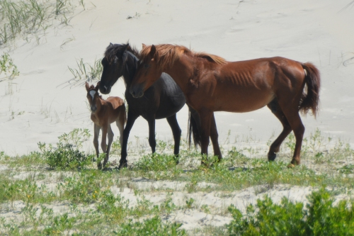foal and parents 6-18-2016 10-47-03 AM