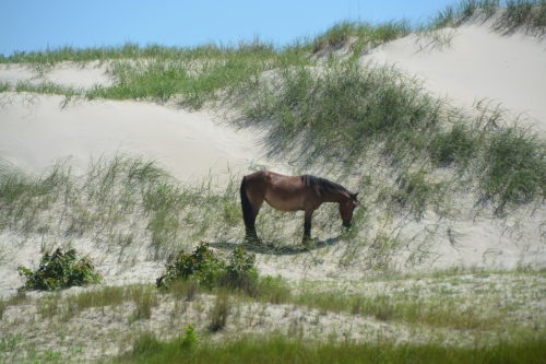 horse on dune 6-18-2016 10-41-42 AM