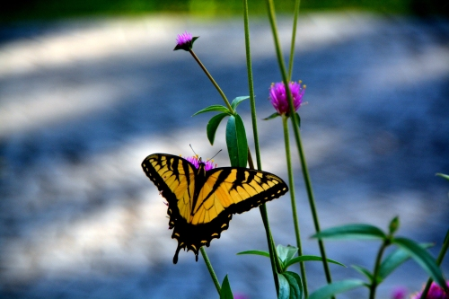 butterfly 7-14-2016 6-43-10 PM