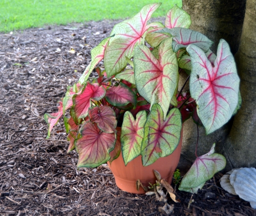 caladiums after 7-19-2016 5-55-38 PM