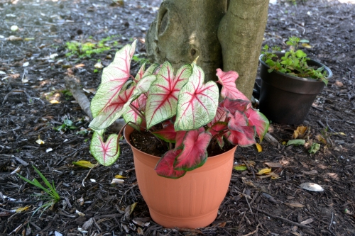 caladiums before 6-14-2016 1-24-56 PM